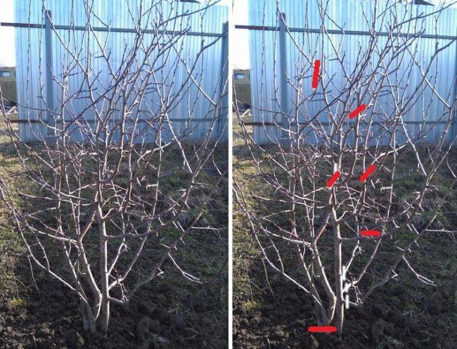 Фотографии сливы до и после прореживающей обрезки ранней весной