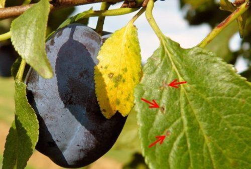 Первичные признаки заражения сливы клястероспориозом на листе в виде коричневых пятен