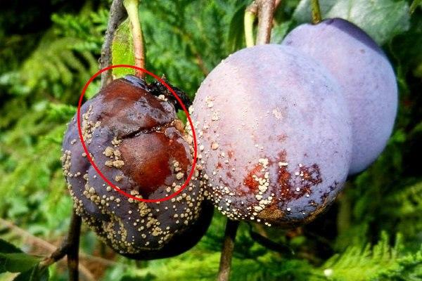 Признаки поражения сливы плодовой гнилью в виде бурых пятен на спелых плодах
