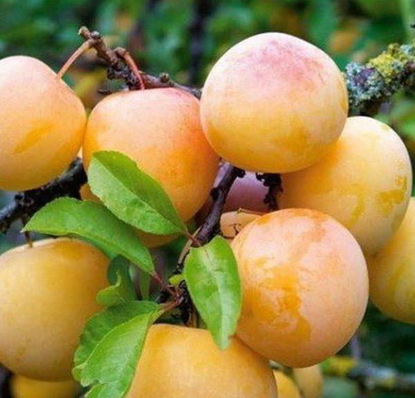 Шаровидные плоды с желтой кожицей сливы сорта Ренклод колхозный