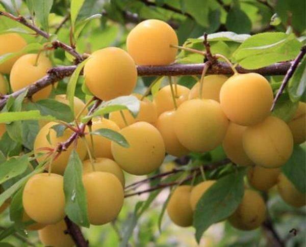 Ветка сливы с круглыми плодами сорта Ренклод Куйбышевский с кожурой желтого цвета