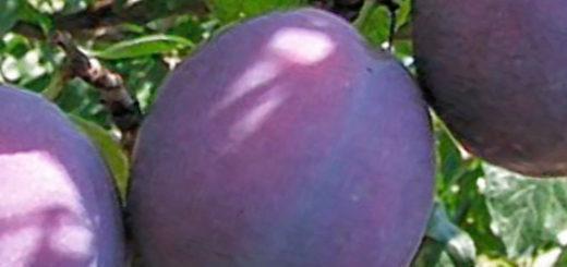 Три созревающих плода сорта сливы Ренклод Тамбовский