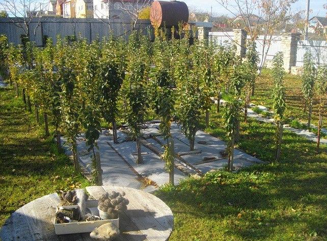 Небольшой по размерам сад из разных сортов колоновидных яблонь