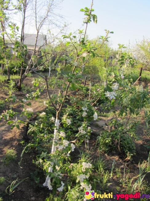 Саженец яблони впервые зацвёл на нашем садовом участке рядом с клубникой