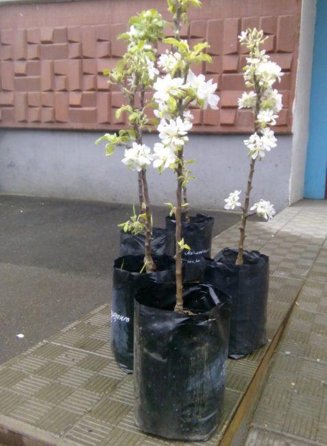 Цветущие саженцы колоновидных яблонь в пластиковых пакетах