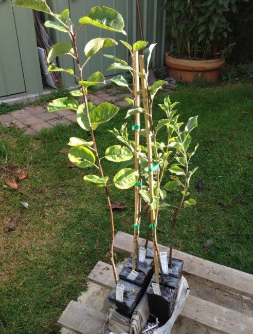 Зеленые листья на саженца яблони с закрытой корневой системой