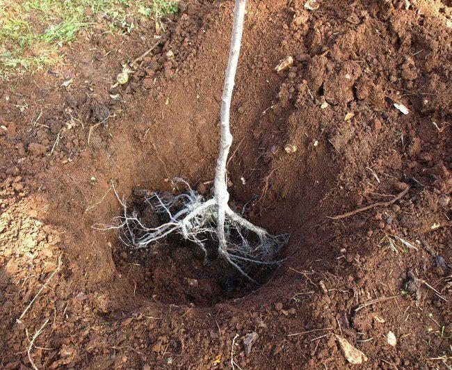 Примерка двухлетнего саженца сливы в яме при весенней посадке