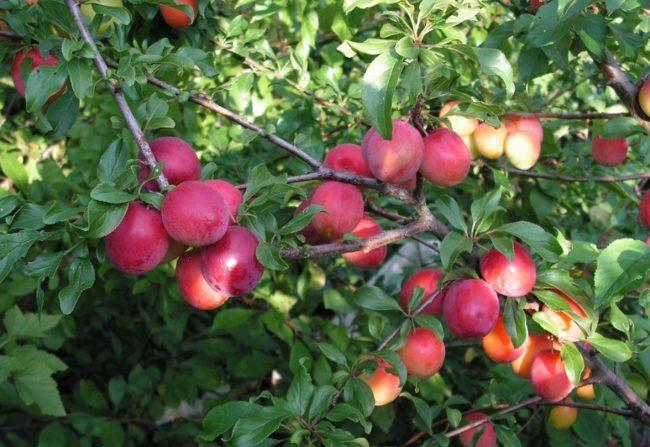 Красно-пурпурная окраска спелых плодов сливы на ветке дерева сорта Сеянец Ракеты