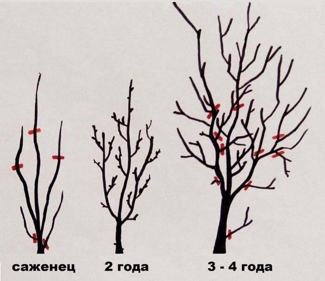 Схематичное изображение формировки кроны сливы в первые годы жизни дерева