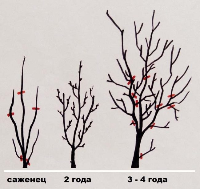 Схема формирования низкорослой кроны плодовой сливы на низком штамбе