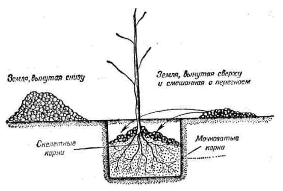 Схема стандартной посадочной ямы для саженца сливового дерева