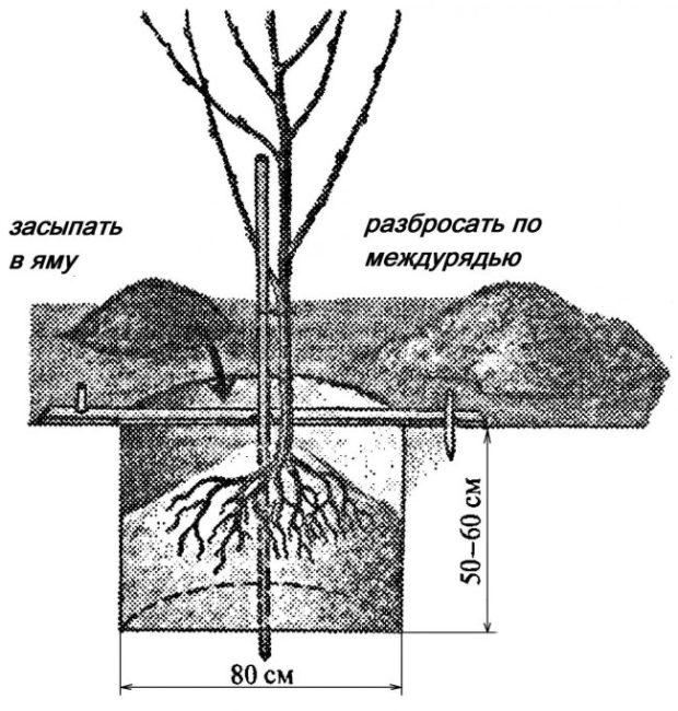 Схема с размерами стандартной посадки саженца сливового дерева