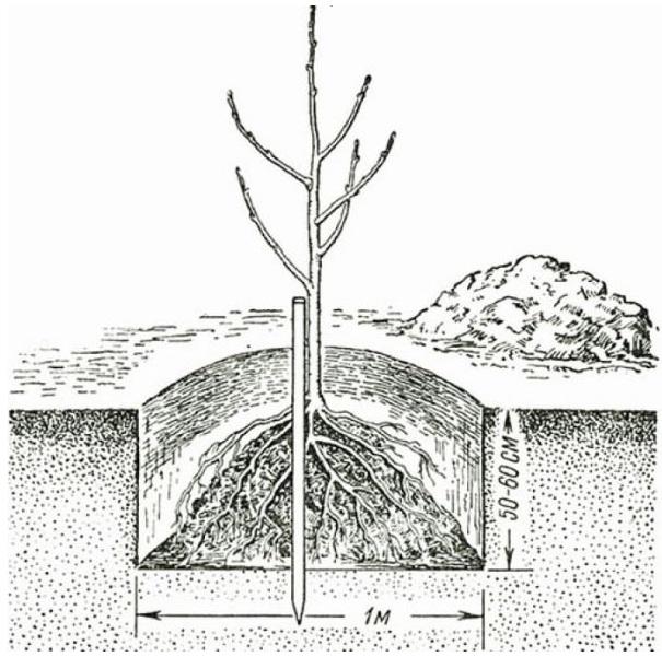 Схема стандартной посадочной ямы для саженца колоновидной яблони