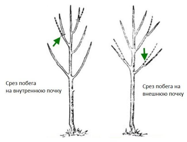 Схема зависимости объема кроны сливы от среза на различные типы почек