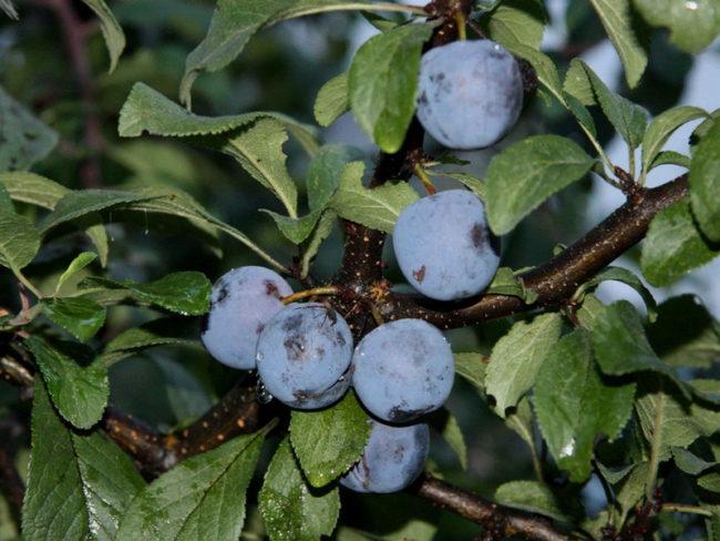Мелкие сине-фиолетовые плоды на дереве сливы народного сорта Скороспелка круглая