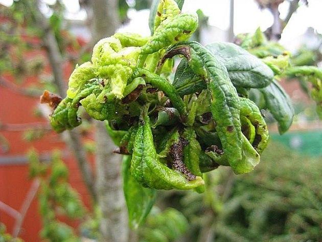 Признаки поражения сливы тлей в виде скрученных и липких листьев