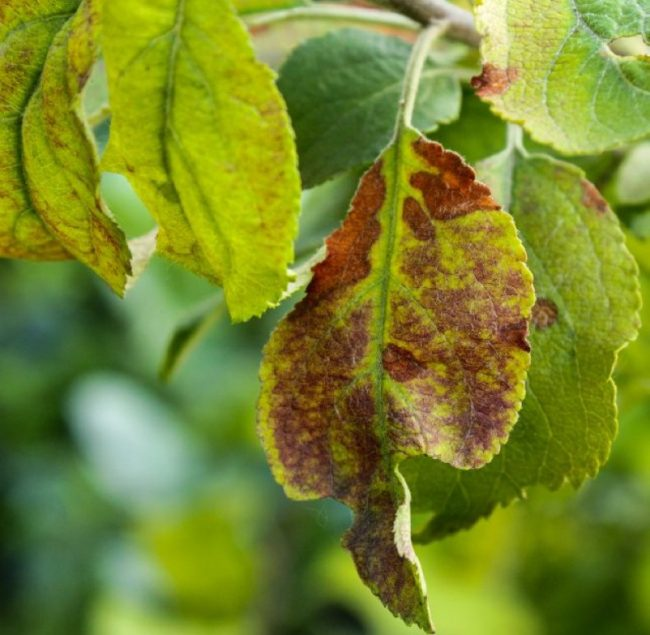 Коричневые пятна на скрученном листе яблони при дефиците меди