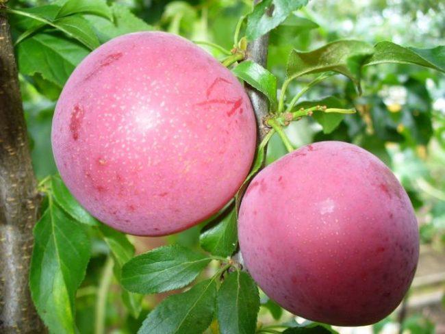 Два крупных плода сливы сорта Путешественница фиолетово-бардовой окраски