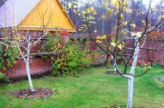 Взрослые деревья сливы без желтых листьев в начале октября