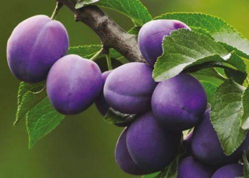 Фото плодов сливы неправильной формы сорта Фиолетовая крупным планом