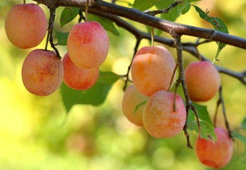 Слегка продолговатые плоды сливы сорта Кулундинская желто-красного окраса