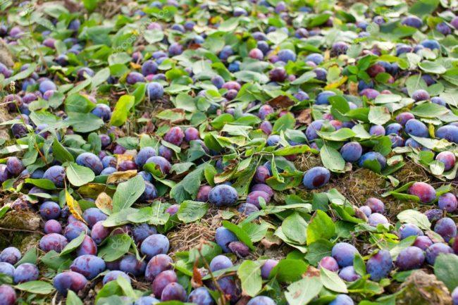 Падалица сине-фиолетовой сливы вместе с листьями на траве приствольного круга