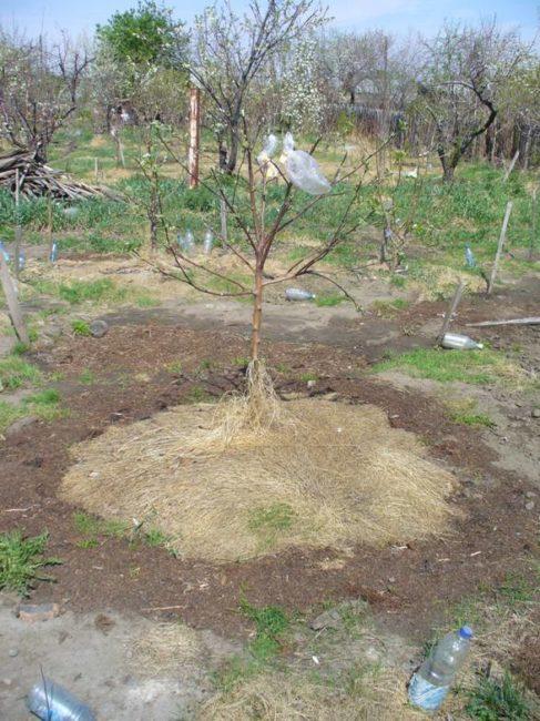 Деревце сортовой сливы на пригорке дачного участка в весенний период