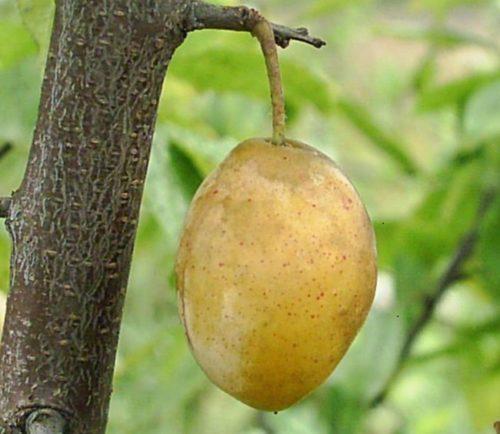 Крупный плод вытянутой формы сливы сорта Очаковская желтая вблизи