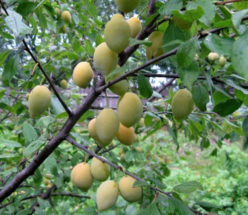 Ветки сливы с плодами гибридного сорта Очаковская желтая