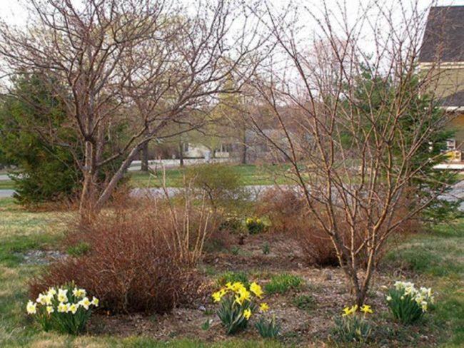 Первые весенние цветы под сливой на загородном участке Средней полосы России