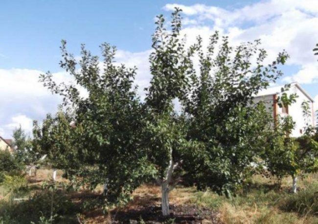 Фото взрослого дерева сливы гибридного сорта Ренклод Тамбовский