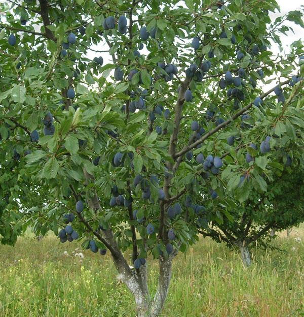 Дерево сливы средней высоты в период обильного плодоношения
