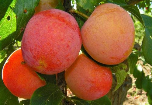 Оранжево-красные плоды сливы сорта Румяная весом около 15 грамм