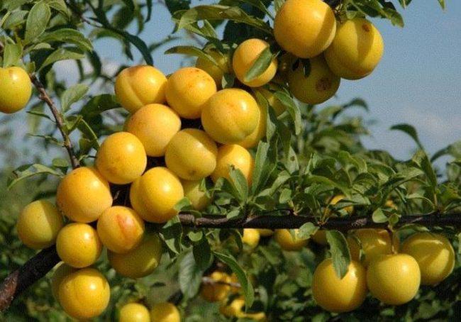 Круглые плоды сливы сорта Сонейка на ветках дерева в саду Ленинградской области