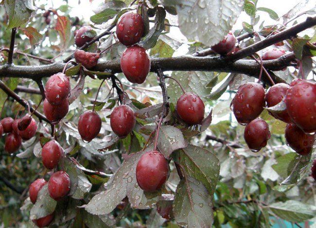 Небольшие плоды красного оттенка на сливе сорта Дивное Красноярской селекции