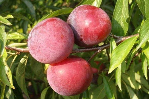 Три спелые сливы красно-лилового цвета на ветке морозостойкого сорта