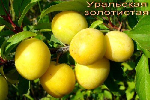 Продолговатые плоды сливы сорта Уральская золотистая с блеском на кожице