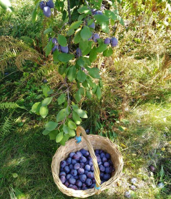 Плетенная корзина с синими плодами сливы под пятилетнем деревом