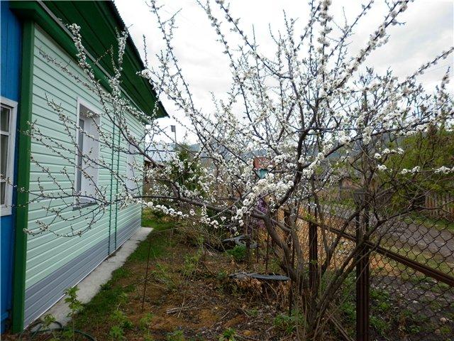 Цветение молодой сливы в палисаднике на дачном участке с забором из сетки-рабицы