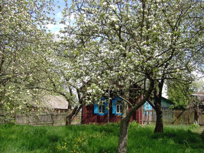 Старый плодовый сад с высокими деревьями и дачный домик на заднем плане