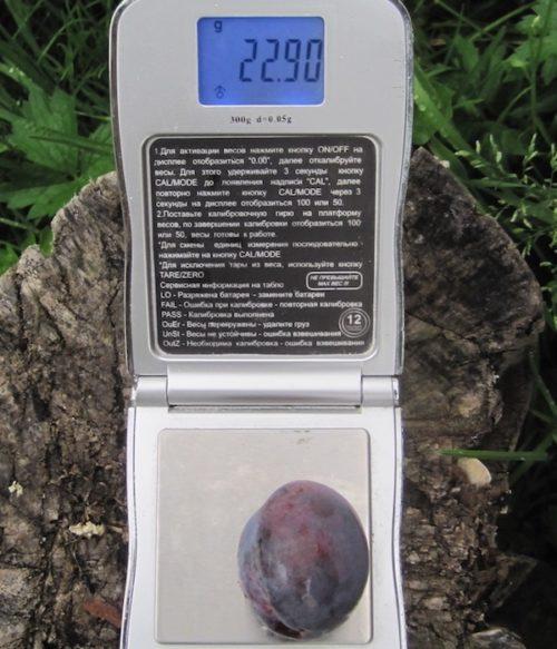 Сие-фиолетовый плод сливы Венгерка псковская на карманных весах