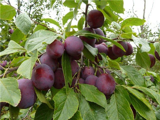 Ветки сливового дерева с крупными плодами народного сорта Венгерка Пулковская
