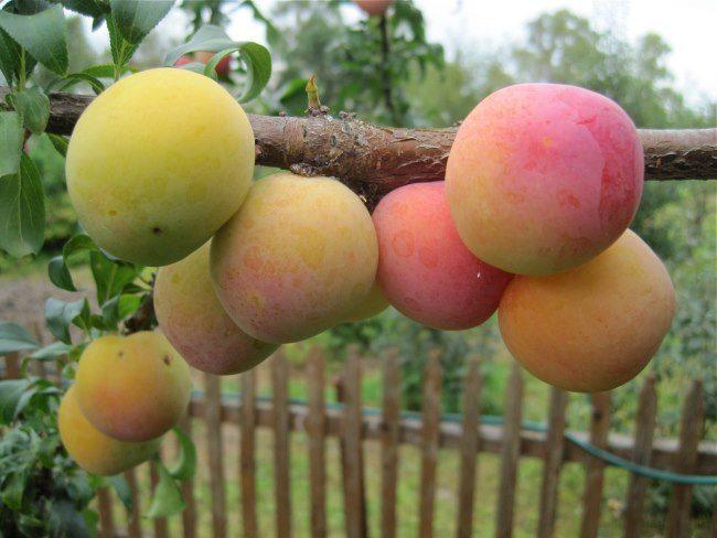 Красно-желтые плоды на ветке сливы нового сорта Яхонтовая на дачном участке Ленинградской области