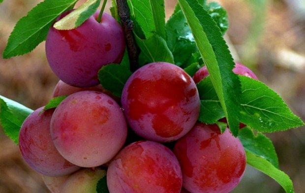 Красные плоды на сливе сорта Зарянка от селекционеров из Красноярска
