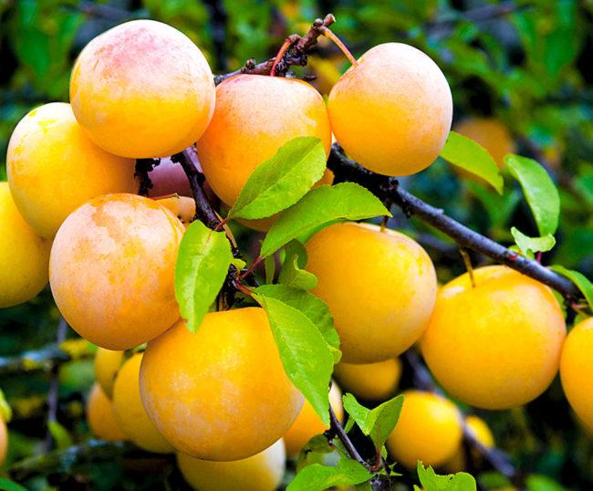 Ветка сливового дерева сорта Желтая Хопты с плодами в саду Алтайского края