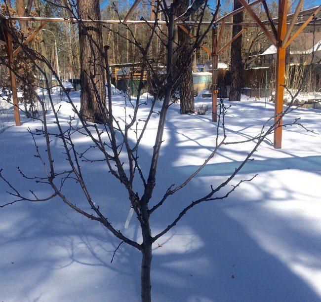 Молодая слива в зимний период на заснеженном участке Сибирского региона