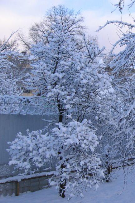 Высокое дерево сливы после обильного снегопада в середине зимы