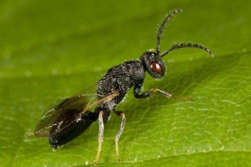 Черная муха толстоножки сливовой размером меньше одного сантиметра