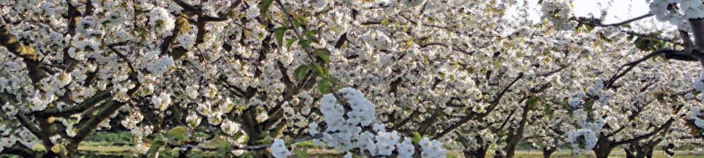 Цветущий сливовый сад в Ленинградской области