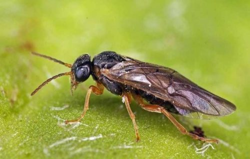 Взрослая муха черного сливового пилильщика с перепончатыми крыльями